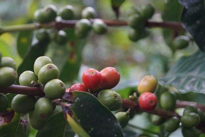 Még az egy növényen érő kávécseresznyék is különböző időpontokban érhetnek be.