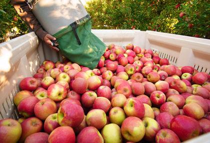 Kevesebb lesz az étkezési alma