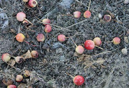 Az idén igen hosszan tartott a gyümölcshullás