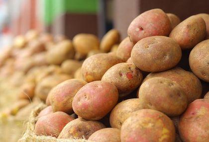 27 millió tonna étkezési burgonyatermést várnak az öt legnagyobb északnyugat-európai burgonyatermesztő országban