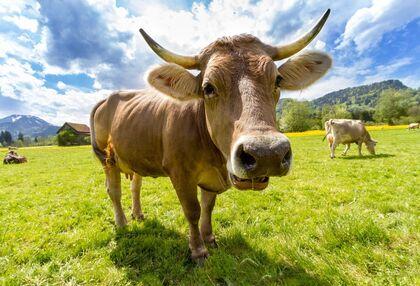 Egy CowCredit egyenértékű egy tonna széndioxid-beszámítással