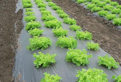 Bizonyos kertészeti kultúrákban már úgyszólván nélkülözhetetlenek az – egyelőre műanyag – talajtakaró fóliák