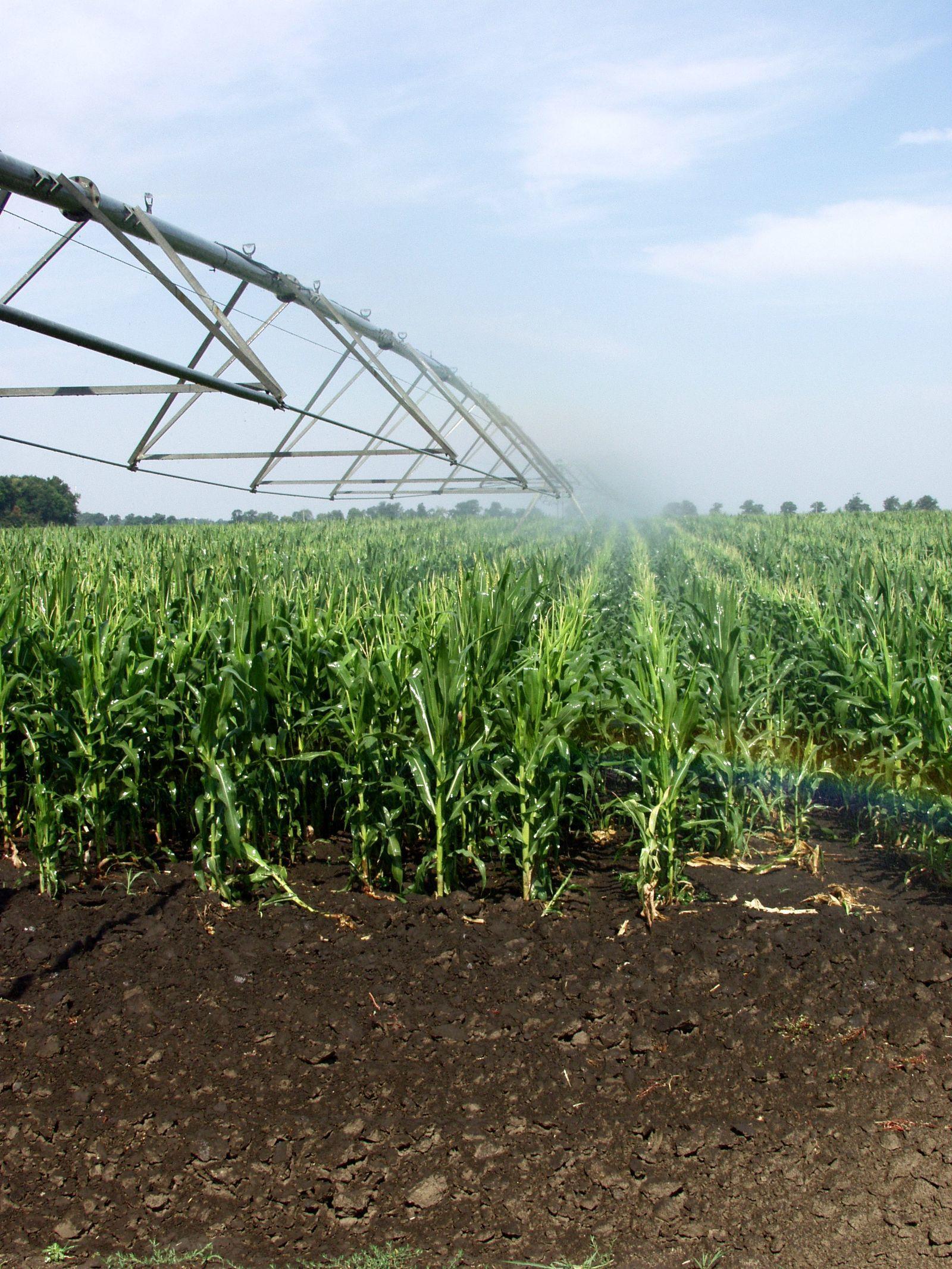 Kukorica öntözése lineárral