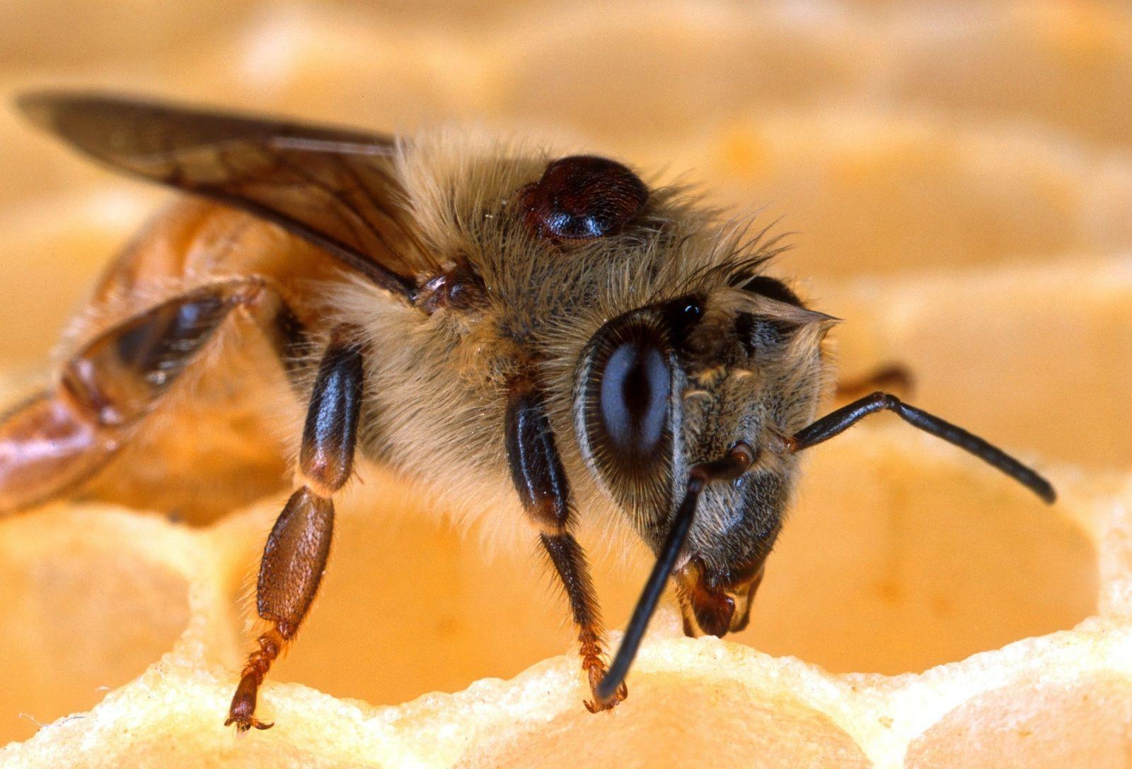 méhészeti kezelés boka betegség