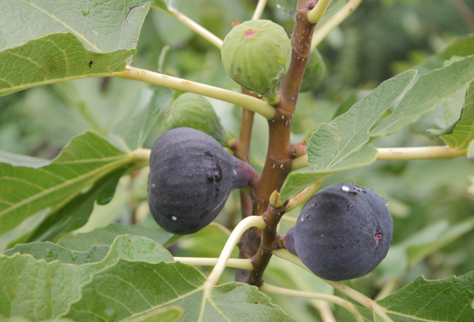 Csak a teljesen érett füge élvezhető gyümölcs, akkor szedjük le, amikor megpuhult