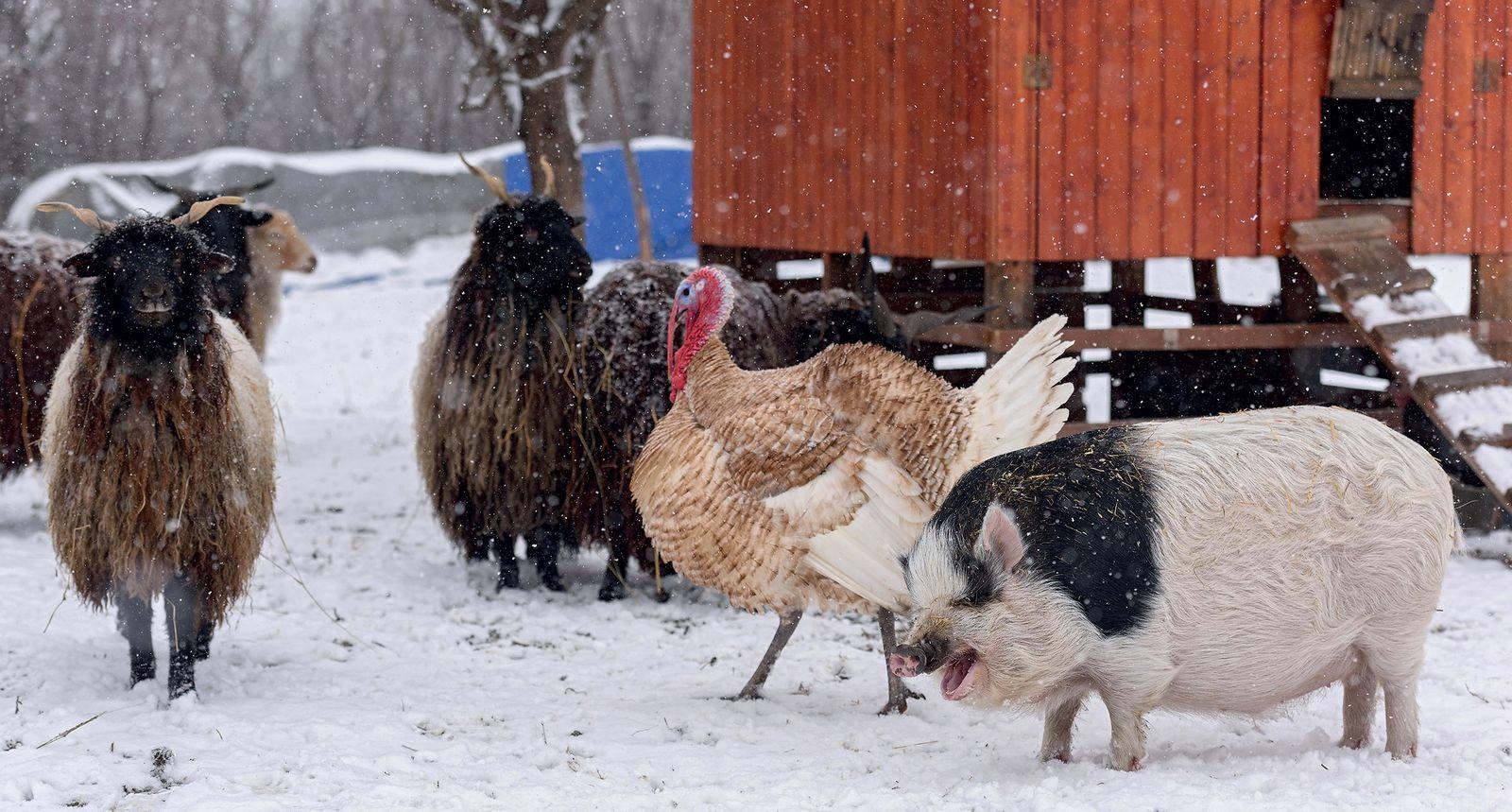 akik disznó bikák viselik a kereskedelmet