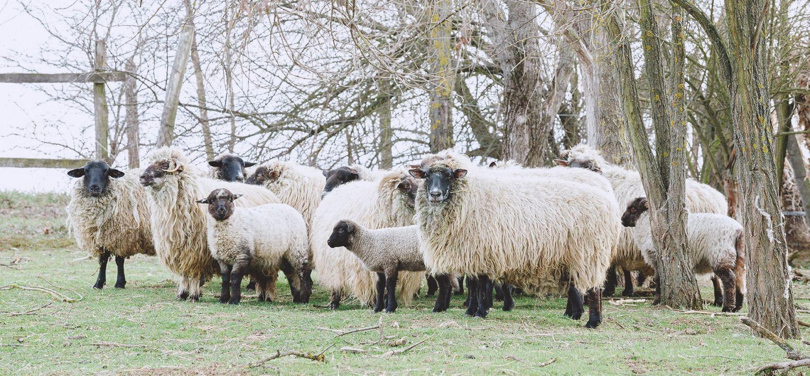 A juhok elsősorban a család ellátását szolgálják