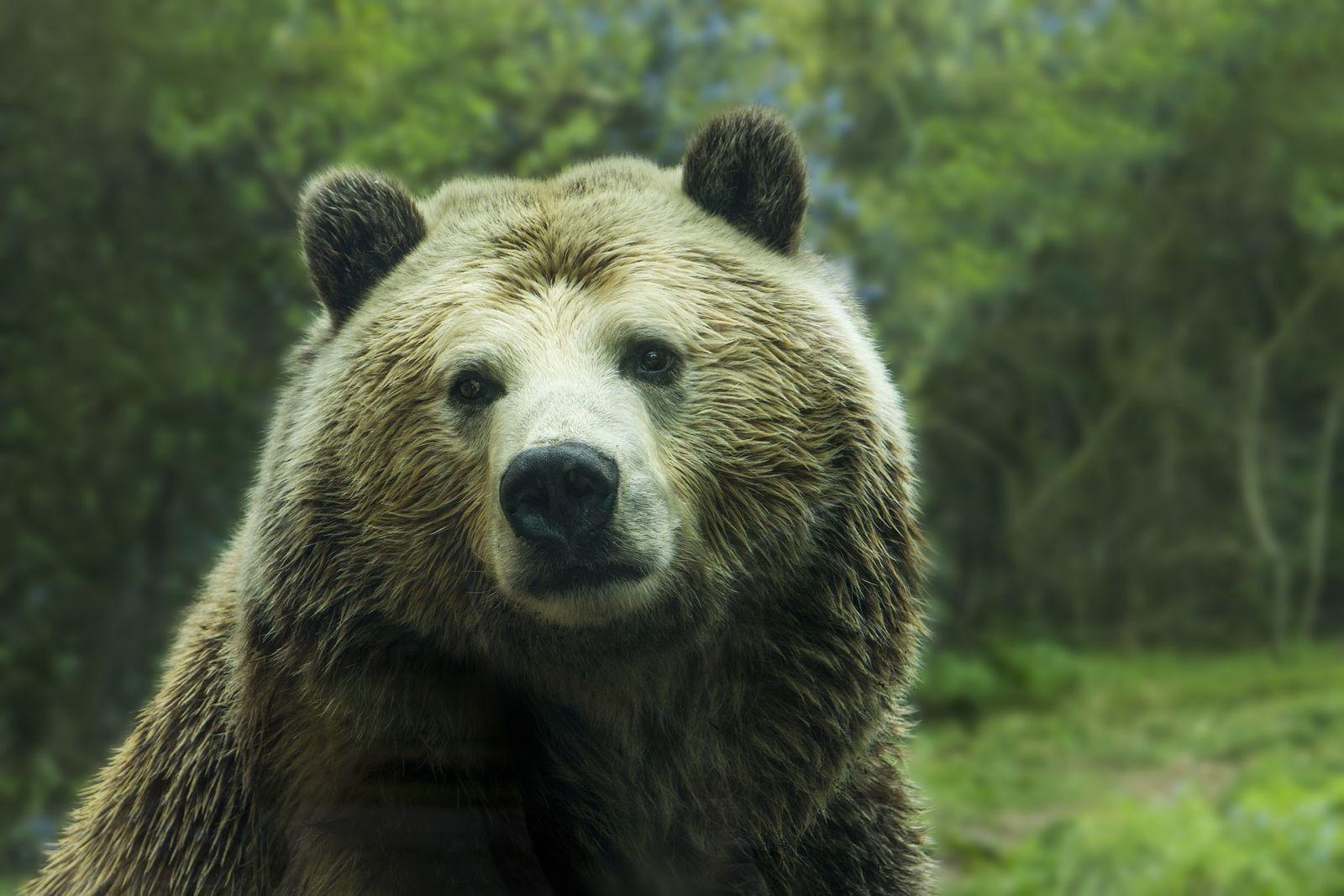 medve epe és merevedése)