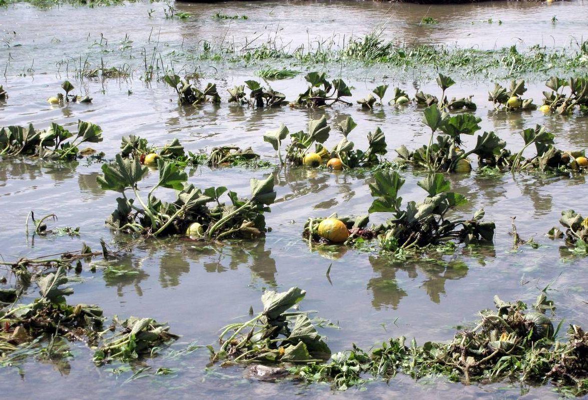 A nagy meleg mellé társuló áradásszerű esőzések miatt csökken a feldolgozható minőségű termés mennyisége