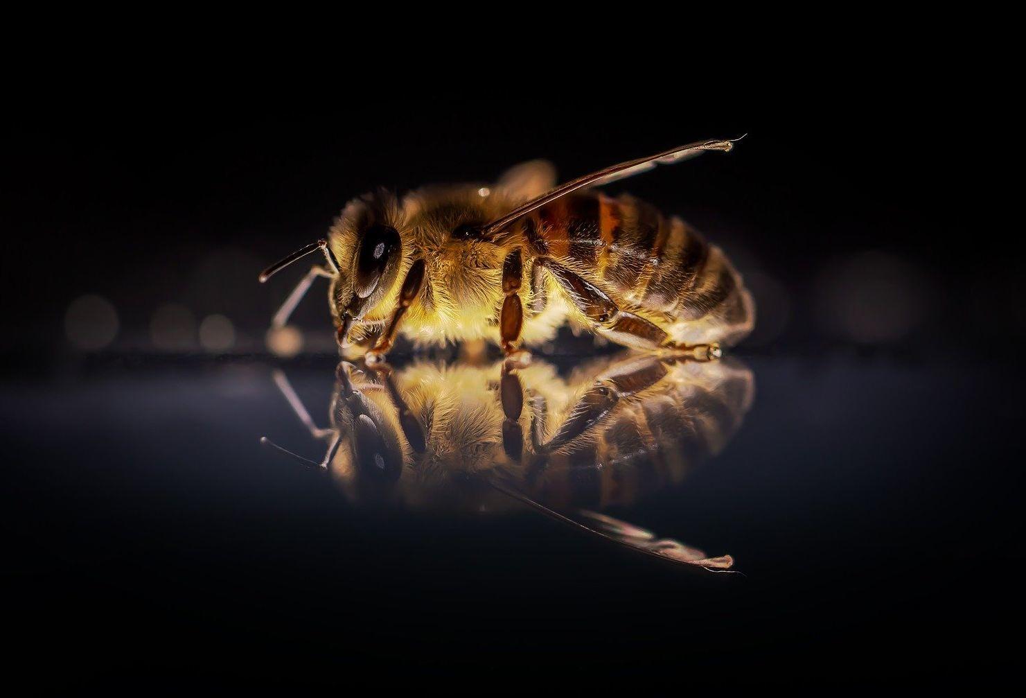 Paraziták a méhek számára - Az atkák génjeiben rejtőzhet a méhek kaptárelhagyásának megoldása