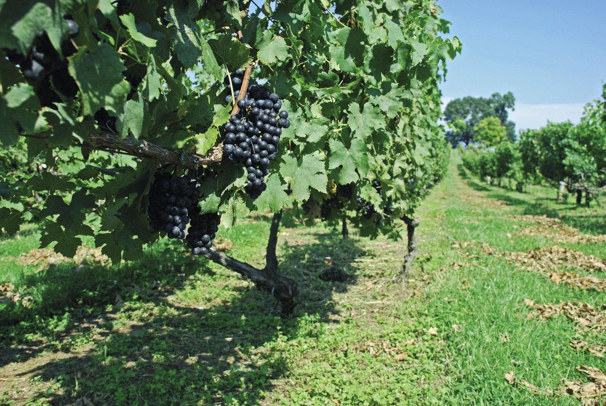 Kevesebb, de jó minőségű bor kerül ki az európai pincékből