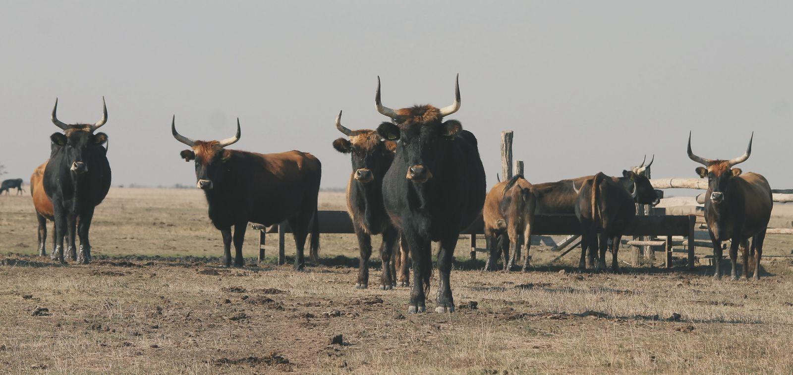 a fiatal marhák