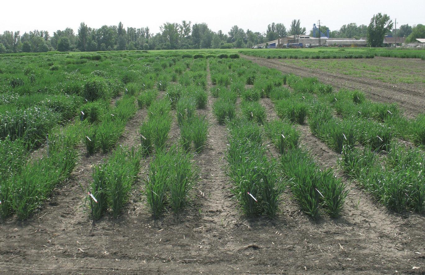 Fontos tényező az argentin új termés