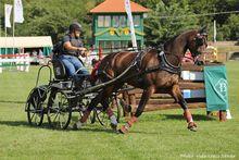 A hatéves lovak között világbajnok lett a német FORTINO, német sportló fajtájú sötétpej herélt, hajtója Marie TISCHER.