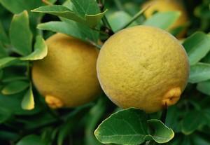 """Képtalálat a következőre: """"citrom növény"""""""