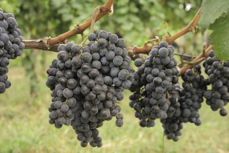 szőlővel teljes körű lehetőségek a szakemberek számára
