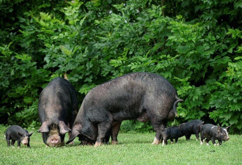 akik disznó bikák viselik a kereskedelmet)